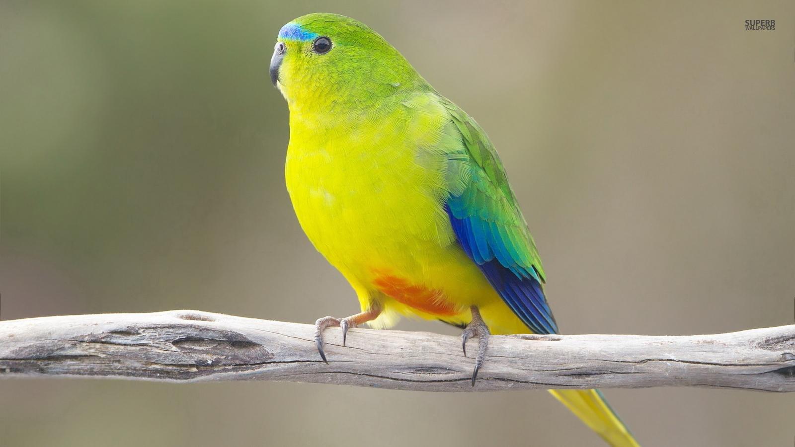 5 Tips Menjinakkan Burung Parkit Australia Pet Food Indonesia