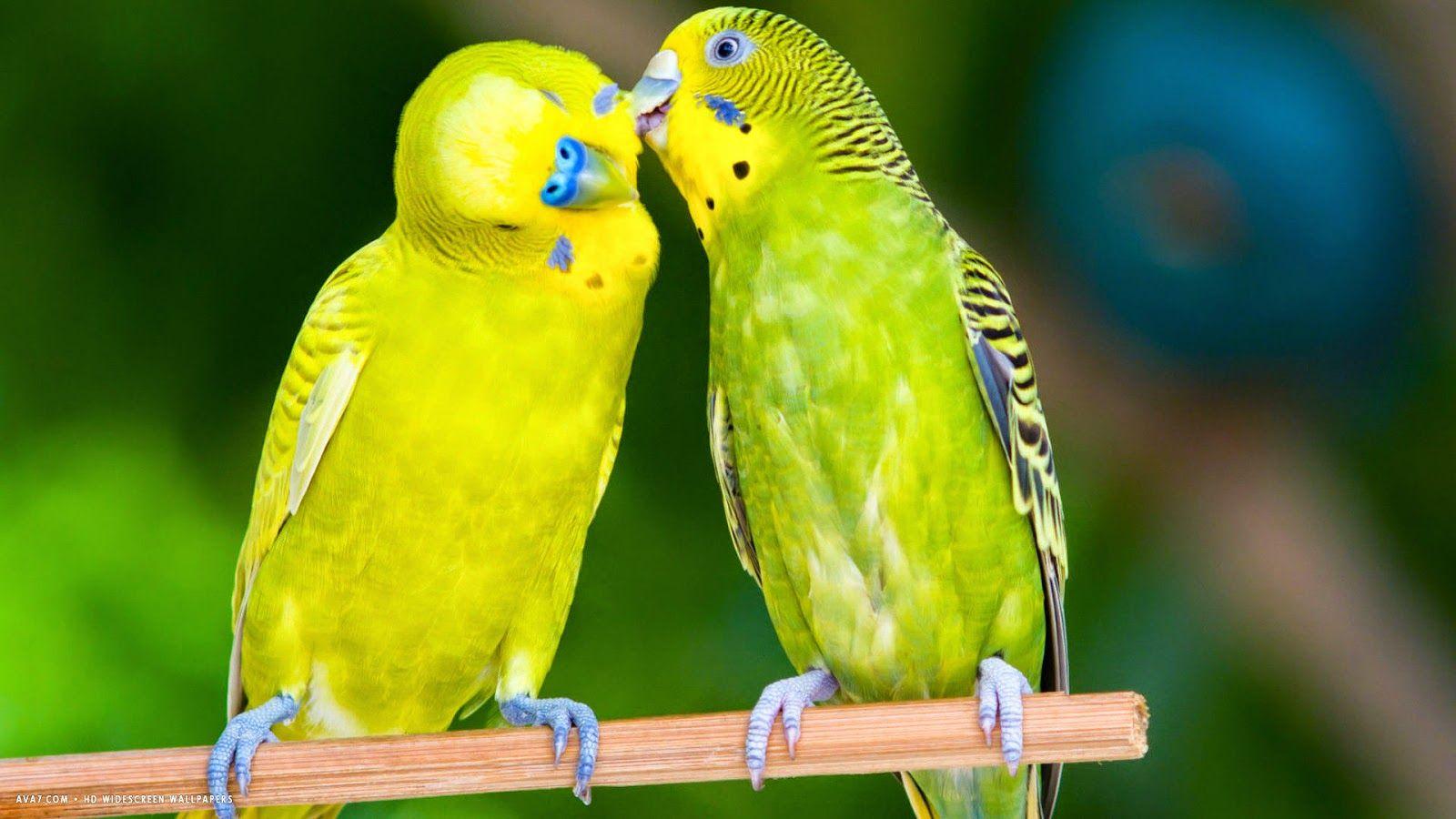 Inilah Cara Mengetahui Jenis Kelamin Burung Parkit Pet Food Indonesia