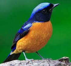 Inilah 5 Jenis Burung Tledekan Pet Food Indonesia